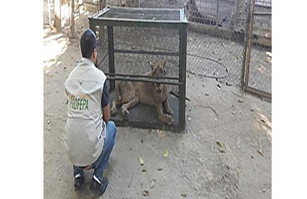 Ciudadano anónimo entrega a Profepa un león africano