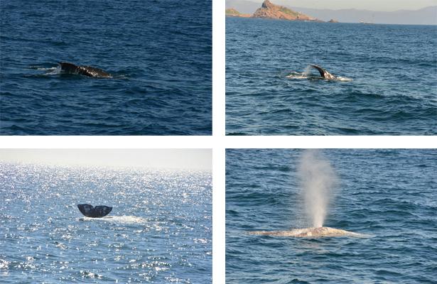 Invita Sectur al avistamiento de ballenas