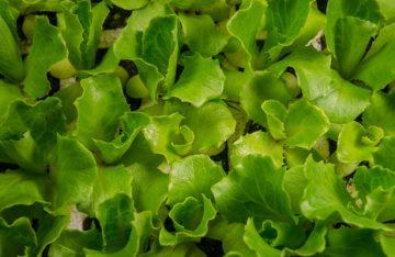 Certifica Senasica 25 unidades de producción de hortalizas en la CDMX