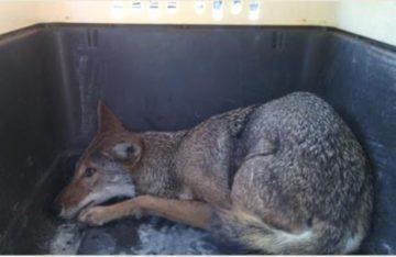 Rescata Profepa a coyote atrapado en alcantarilla, en Tamaulipas