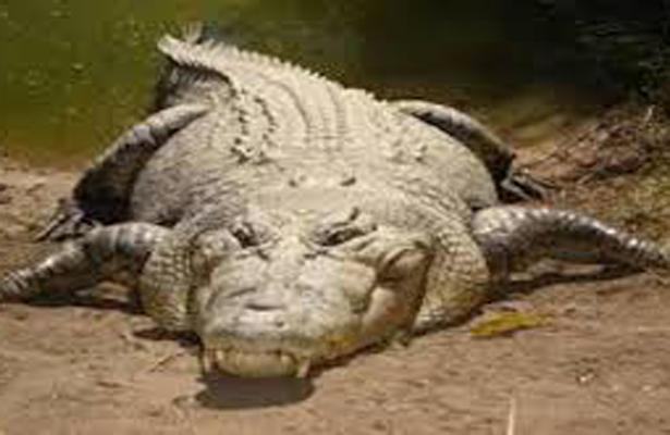 Es atacado por caimán mientras tomaba un baño en estanque