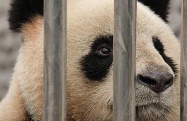 Difunden presuntos maltratos a pandas en China y desata polémica