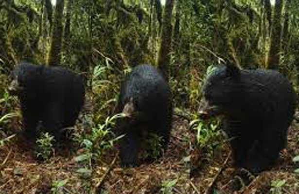 Avistan en México cuatro ejemplares de oso negro americano, especie protegida