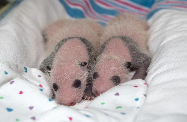 """Una panda """"octogenaria"""" da a luz gemelos y bate récord de madre más longeva"""