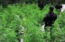 Destruyen al menos 30 mil plantas de marihuana, en el Estado de México