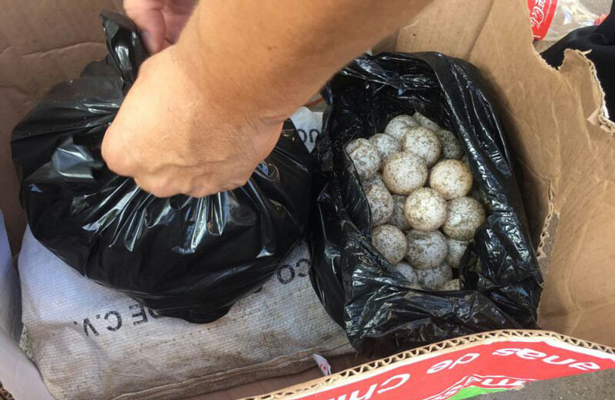 Policía Federal asegura 3 mil 700 huevos de tortuga en Oaxaca