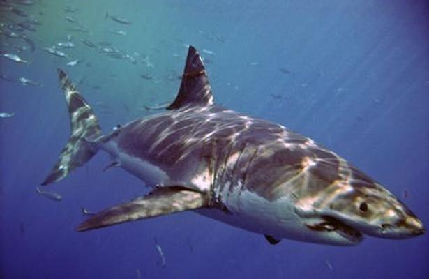 Inicia temporada de tiburón blanco en Baja California
