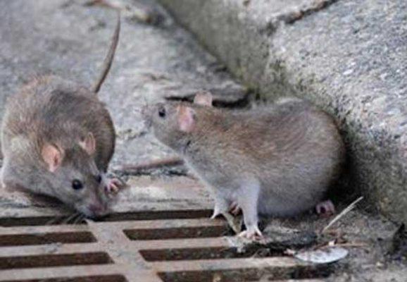 Atacan ratas a niña parapléjica en Francia