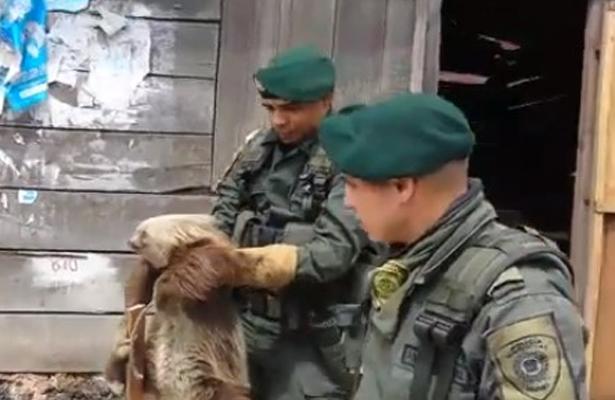 VIDEO Salvan a oso perezoso de morir electrocutado en Colombia