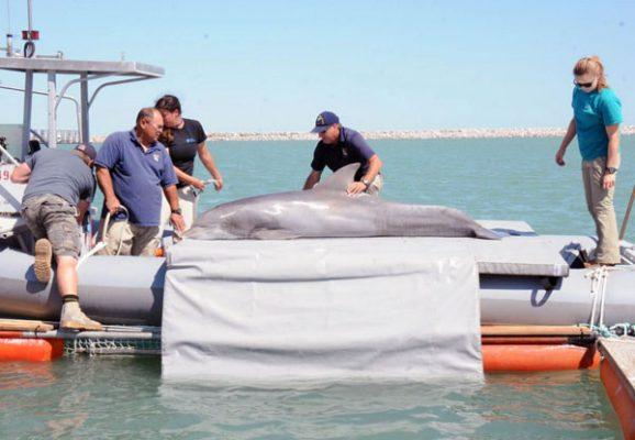 Lamenta WWF muerte de vaquita marina