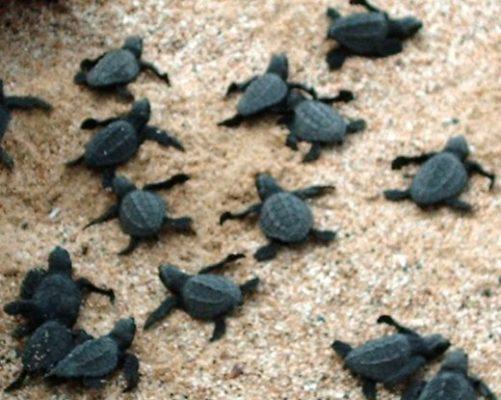 Liberan tortugas Golfina en Acapulco