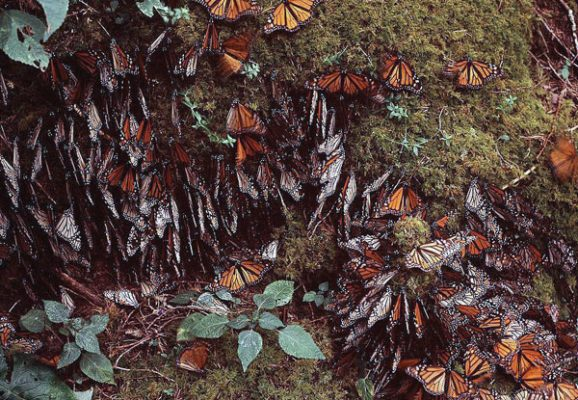 Llegan a bosques mexicanos, mariposas Monarca