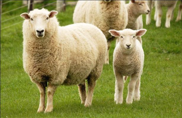 ¡Baa-rack!, las ovejas, capaces de reconocer a Obama en una foto