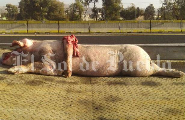Cerdo provoca terrible accidente en la México – Puebla
