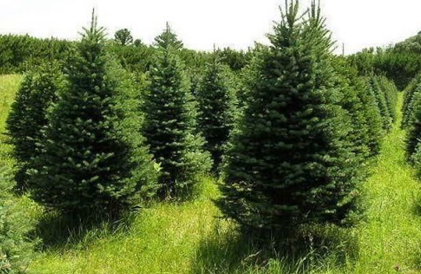 Esperan productores buena venta de árboles de Navidad: Sederec