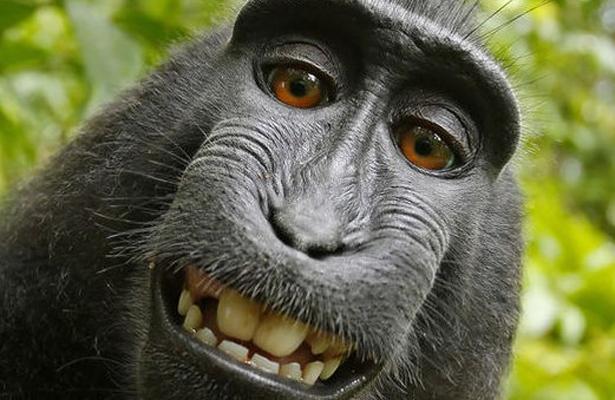 """El Macaco de la selfie es la """"personalidad del año"""""""