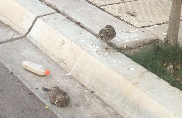 Menor de edad mata a tecolote con un rifle, en Sonora