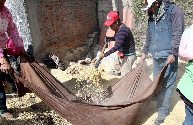 Ecatepec informa que inició con la recolección del maíz