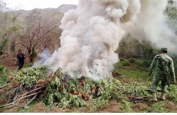 Incineran miles de plantas de marihuana en Lázaro Cárdenas