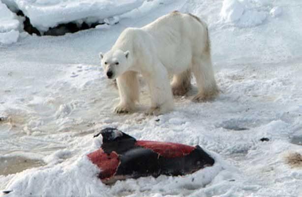 Los osos polares no encuentran suficientes focas para saciarse