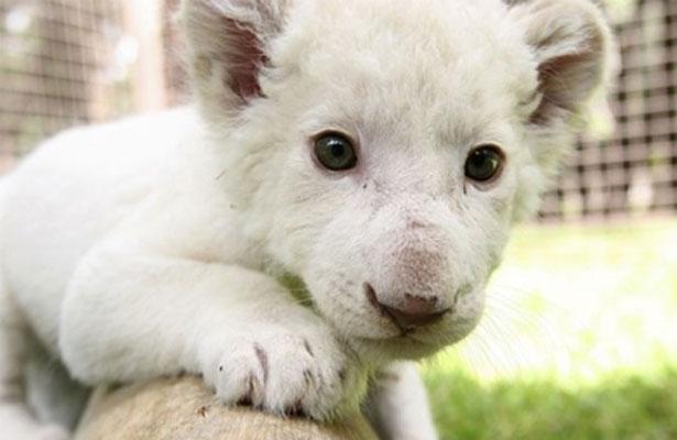 Presentarán este domingo a cachorro de león blanco nacido en Tlaxcala