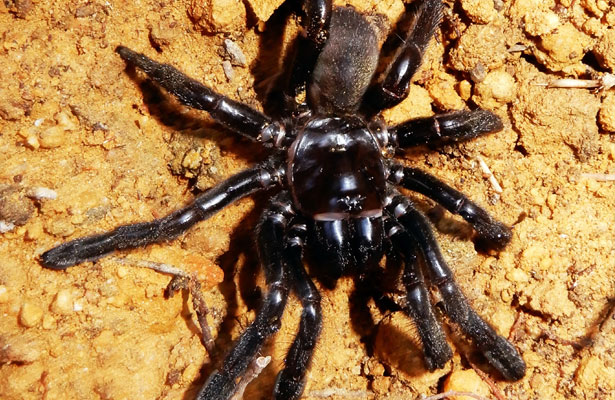 La araña más vieja del mundo estiró sus ocho patas