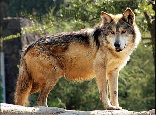 Avanza con éxito, la conservación del lobo gris mexicano, destaca experta