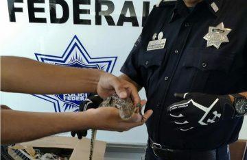 Decomisa PF dos cocodrilos en la Ciudad de México