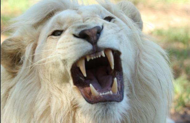 Al menos dos cazadores furtivos mueren devorados por leones en Sudáfrica