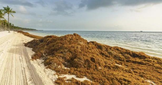 El sargazo a punto de  ocasionar un desastre ecológico en Quintana Roo