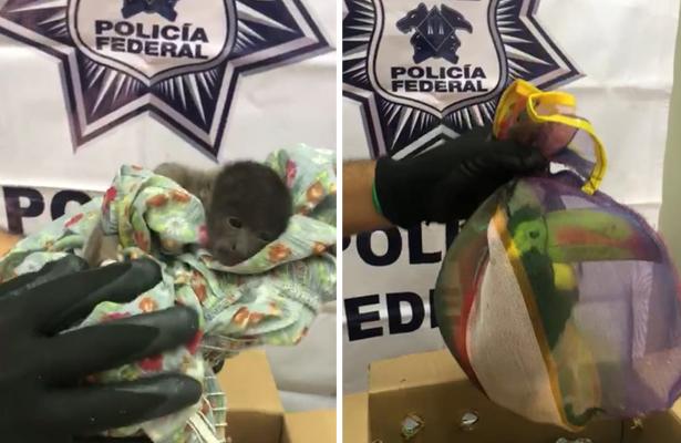 [Video] PF rescató mono bebé y dos tucanes, en Jalisco