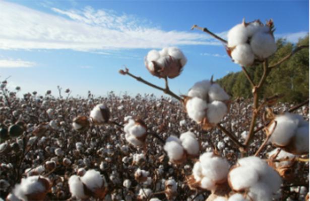 Alcanzará México producción récord de algodón