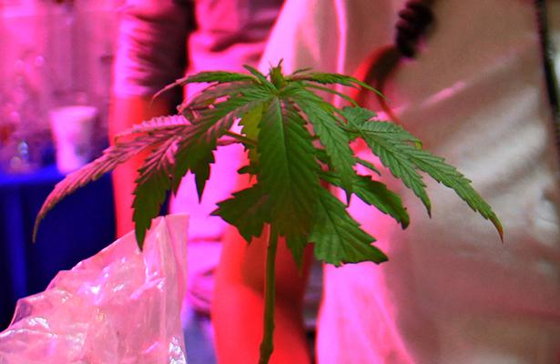 El negocio de legalizar la marihuana