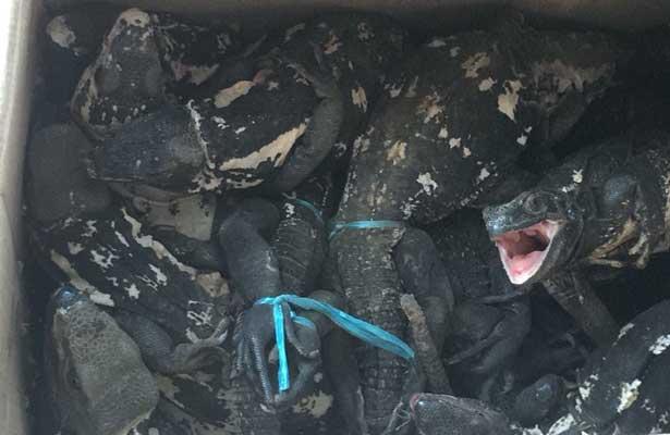 Asegura PGR 49 iguanas en peligro de extinción