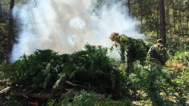 SEDENA decomisa plantío de marihuana en la región Mixe de Oaxaca