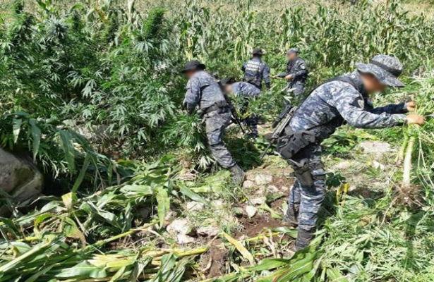 Destruye PGR 16 mil plantas de marihuana en Jalisco