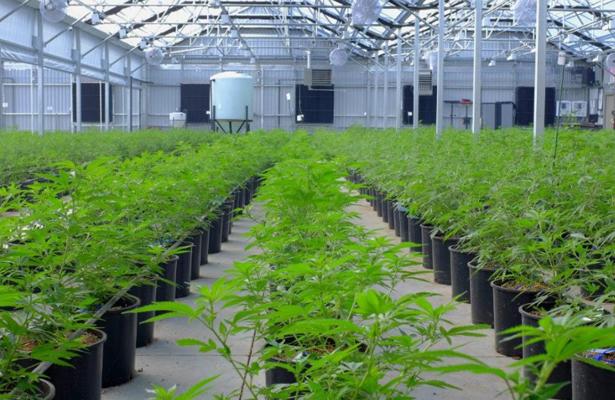 Canadiense Aurora Cannabis venderá marihuana en México