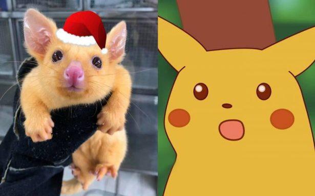 ¿Pikachu eres tú? Descubren zarigüeya parecida al pokemón