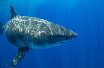 [Video y fotos] Después de 6 años Deep Blue el tiburón más grande se deja ver en Hawaii
