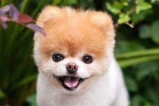 Murió 'Boo' el perrito más tierno de las redes