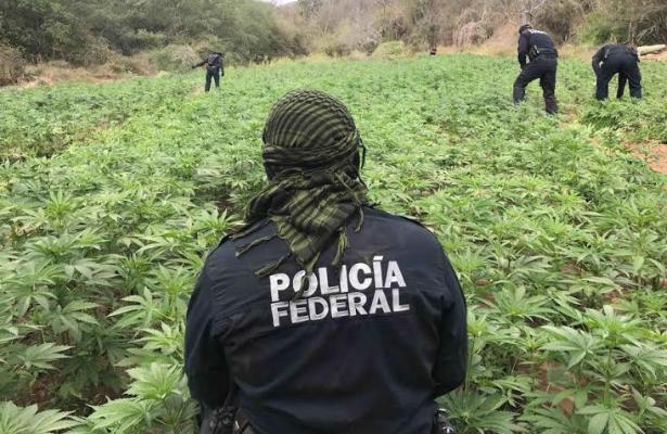 Destruyen 88 toneladas de marihuana y amapola en Sonora