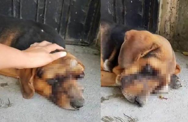 ¡Crueldad sin límites! Le sacan los ojos a un perrito y lo abandonan