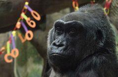 Muere Colo, la gorila en cautiverio más vieja