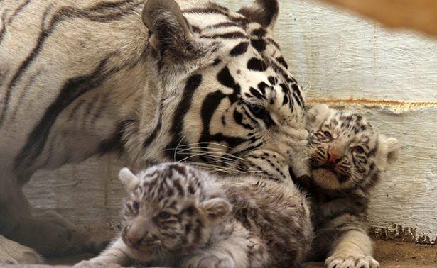 México presume a sus nuevos cachorros de tigre blanco