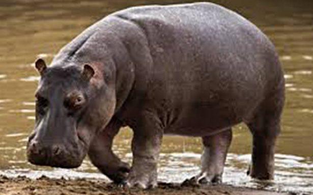 ¿Envenenamiento? Escándalo por muerte de más de 100 hipopótamos