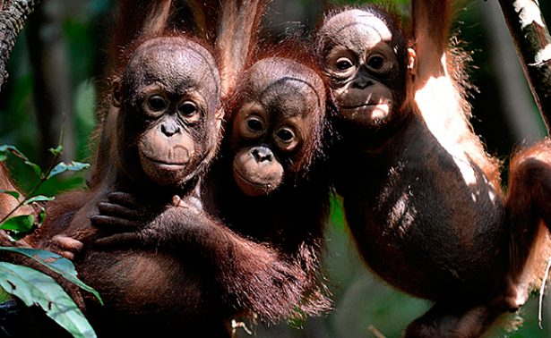 Descuartizan y se comen a un orangután en Indonesia
