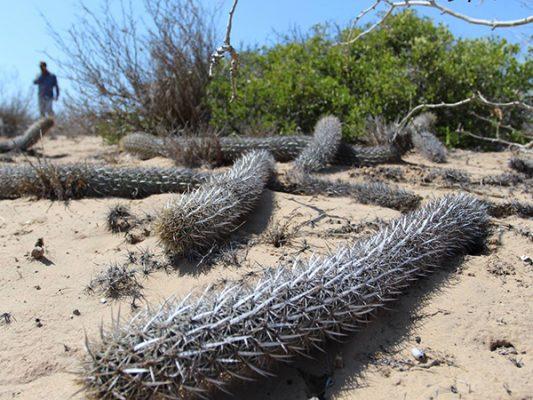 Cactus oruga, el único en la Península que se desplaza por tierra hasta morir