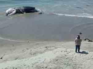 Atiende PROFEPA varamiento de ballena muerta
