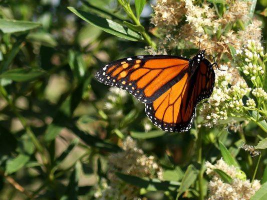 Arriba mariposa a zona de restauración del Río Colorado