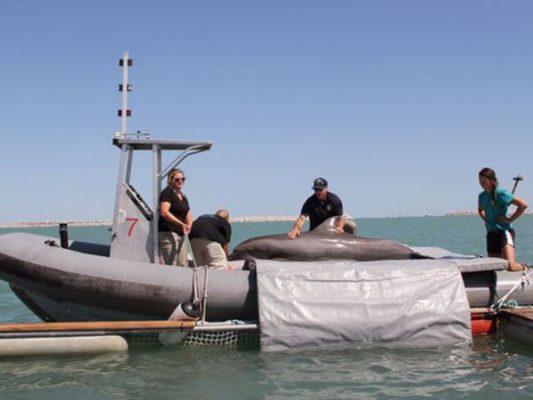 Delfines ya se han utilizado con éxito para rescate de otras especies marinas